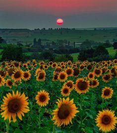 #sunflowers of #Vize #kirklareli #Turkey // Photography by Hatice Korkmaz THE COLOR QUEEN (@kardinalmelon) • Instagram photo