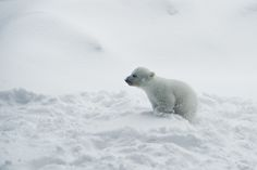 Winter's tundra, Polar Bear Cub by conwest_john