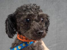 Adopt Blackjack, a lovely 6 years Dog available for adoption at Petango.com…