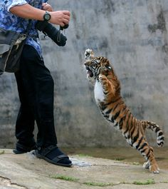 He cannot escape his wrath . . . I'm willing to bet as small as that tiger is it could still mess him up