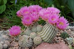 One of my five hundred favorite hardy cacti | Forum topic | North American Rock Garden Society