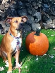 Pumpkin is an adoption pending Terrier Dog in Doylestown, PA.   She is 2 years Old and with Almost Home Dog Rescue