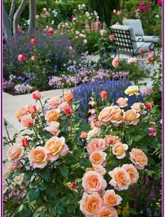 ╭⊰✿ The Romantic Cottage Garden ✿⊱╮Peach colored Floribunda Rose 'Tuscan Sun' flowering shrub in patio garden in California country garden Beautiful Roses, Patio Garden, Backyard Garden, Rose Garden Design, Beautiful Gardens, Garden Shrubs, Beautiful Flowers, Flower Garden, Rose Garden Landscape