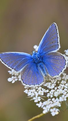 Blue Butterfly Discover The Earth Has Music For Those Who Listen stunning blue butterfly Butterfly Photos, Cute Butterfly, Butterfly Wallpaper, Butterfly Flowers, Beautiful Bugs, Beautiful Butterflies, Beautiful Flowers, Beautiful Butterfly Pictures, Beautiful Creatures