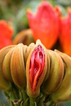 vulvalovelovely:    A familiar looking flower <3 Amazingly interesting plant!! Looks like a vagina!