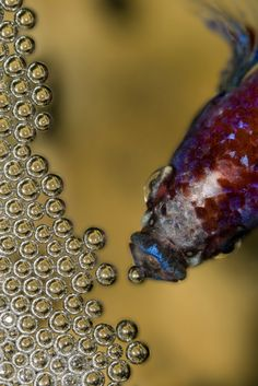 Male Betta with bubble nest by Flapper212 (license: Creative Commons 4.0)