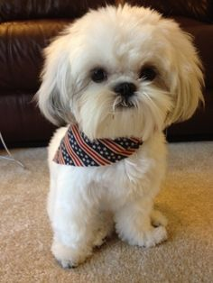 Area #Puppy Still Recovering From July 4th Bash A local shih-tzu...