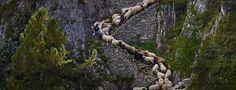 Valais Blacknose sheep in Valais, Switzerland © Alessandra Meniconzi/Solent News/REX/Shutterstock   BingHomePage