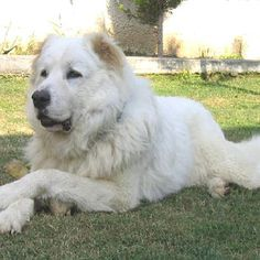 It is a giant and woolly dog that looks very pretty with its fluffy hair. The features of Caucasian Mountain Shepherd Dog or Caucasian Shepherd Dog are very Toxic Foods For Dogs, Caucasian Shepherd Dog, Mountain Dogs, Big Mountain, Types Of Dogs, Working Dogs, Dogs And Puppies, Doggies, Nature Pictures