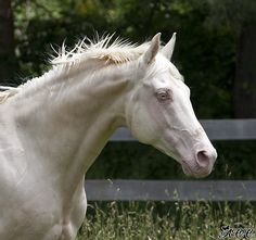 "Cremello (""Guaranteed Gold"") thoroughbred"