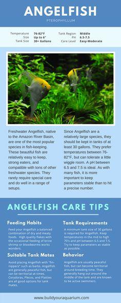 Anatomy Of Angelfish Fresh Water Fish Pinterest Angelfish