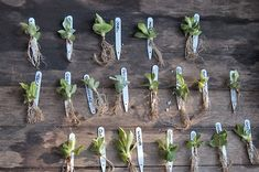 Alpine Garden, Alpine Plants, Rare Plants, Potted Plants, Primula Auricula, Homemade Greenhouse, Alpine House, Primroses, Miniture Things