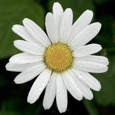 A German chamomile flower.