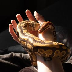 #snake #snakesofinstagram #snakes #reptile #python #reptiles #reptilesofinstagram #ballpython #royalpython #ballpythons #ballpythonsofinstagram #pythonregius #serpent #exoticpets #reptilesofig #snakesofig #ballpythonsofig #pythons Snake Facts, Python Regius, Ball Python, Exotic Pets, Snakes, Reptiles, Fur, Cool Stuff, Cool Things