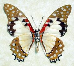 Graphium angolanus real White Lady Swallowtail African Butterfly