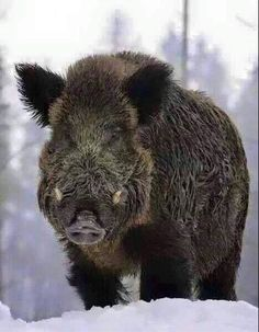 Boared to Death Animals Images, Animals And Pets, Nature Animals, Cute Animals, Wild Boar Hunting, Hog Hunting, Hog Dog, Natur Tattoos, Hunting Pictures