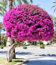 Giant Bougainvillea tree in Palma de Mallorca, Balearic Islands, Spain Trees And Shrubs, Flowering Trees, Trees To Plant, Bonsai Trees, Amazing Gardens, Beautiful Gardens, Beautiful Flowers, Simply Beautiful, Bougainvillea Bonsai