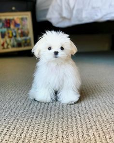 "2,933 Likes, 44 Comments - #maltese Dog (@maltese.dog.love) on Instagram: ""I'm 100% pure fluff! ❣️❤️ Follow @maltese.dog.love for more  via @cocothemaltesedog  Love to tag?…"""