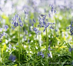 Wonderful Places To See Bluebells in Surrey, Hampshire and Sussex - Pumpkin Beth Beautiful Places To Visit, Wonderful Places, Places To See, Kew Gardens, Botanical Gardens, Blue Flowers, Wild Flowers, English Bluebells, Bog Garden