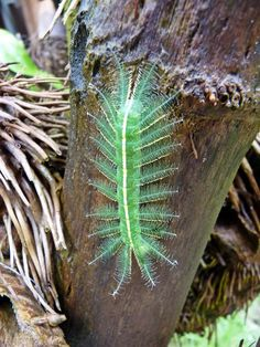 Baron butterfly caterpillar--they turn out to be not so conspicuous in the end.