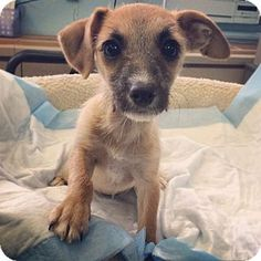 Chihuahua Mix Puppy Krystal is up for adoption at the Humane Society of New York.