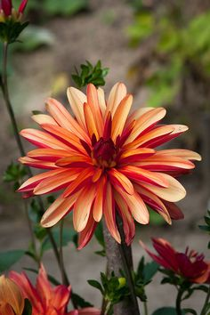 A Mantis Compos-Twin Evaluate - Improved Composting While In The City Setting Dahlia 'Jescot Julie' All Flowers, Types Of Flowers, Flowers Nature, Exotic Flowers, Amazing Flowers, Beautiful Roses, Beautiful Flowers, Growing Dahlias, Dahlia Flower