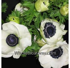For those who need the right color, we offer wholesale white Anemones with dark flower centers from late December through July.