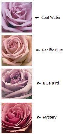 purple rose varieties