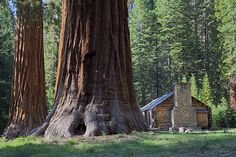 Get up close with the largest trees in the world in Mariposa Grove. See more at http://survivallife.com/2015/11/06/yosemite-national-park-camping-survival-life-national-park-series/