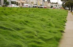 The mystery grass along Junipero Serra in San Francisco is actually a mix of several fine fescues. Photo: Pam Peirce - Article in the SF Gate Plant Species, Landscape Design, Garden Design, Landscape Architecture, No Mow Grass, Fescue Grass, Outdoor Gardens, Indoor Outdoor, Gardens