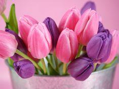 Imágenes de Tulipanes             Fotos de tulipanes