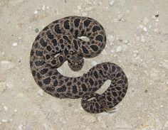 pygmy rattlesnake this is a fairly small snake and has small rattles venomous