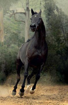 Black Thoroughbred