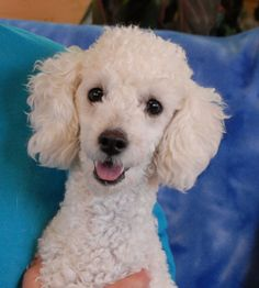 Waldo is full of good cheer and enthusiasm and he debuts for adoption today at Nevada SPCA (www.nevadaspca.org).  He is an exceptionally cute Toy Poodle, 1 year young, neutered boy, and great with other dogs.  Please plan and budget for regular professional grooming.  Waldo was at another shelter that asked for our help because he needs a home without young kids, who reportedly make him anxious.  Any kids in Waldo's new home will need to be older and very mature.