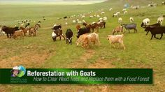 Reforestation with Goats (permaculture). Geoff Lawton shows you how he uses goats to get rid of weed trees and invasive shrubs. Goats enjoy pasture and. Poisonous Plants, Medicinal Plants, Farm Gardens, Outdoor Gardens, Geoff Lawton, Backyard Farmer, Boer Goats, Raising Goats, Wild Edibles