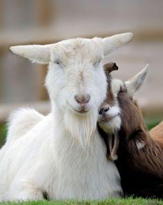 loving goats...