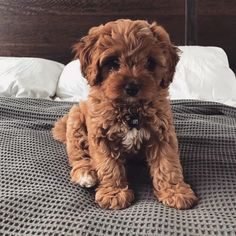27 Cutest Dog Breeds - Most Adorable Dogs - Cute animals - Chien Cavapoo Puppies For Sale, Cute Dogs And Puppies, Doggies, Havanese Puppies, Baby Dogs, Teacup Puppies, Mini Goldendoodle, Puppies Puppies, Goldendoodles