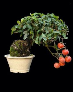 Persimmon Bonsai - this is a case of a plant that needs both a male plant and a female to produce fruit like this. Bonsai Fruit Tree, Japanese Bonsai Tree, Bonsai Art, Fruit Trees, Succulent Bonsai, Bonsai Garden, Garden Trees, Cacti And Succulents, Ikebana