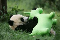 Non, ces bébés pandas ne sont pas des peluches, ils sont bien réels et ils sont à croquer !