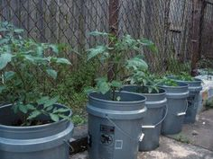 Vegetables In A 5-Gallon Bucket: How To Grow Vegetables In A Bucket