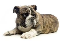 Scarica sfondi Old English Bulldog, cucciolo, carini, piccoli animali, cane, animali domestici