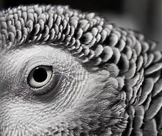 The eye of a mature African Grey parrot, probably a female.