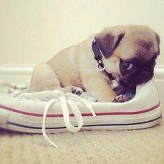 De vez en cuando un perro entra en tu vida y todo cambia...#puppylove #pug #mascotas #carlino