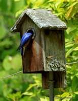 Monitoring a bluebird trail of 22 boxes and one box in my backyard<3 Blue Bird, Trail, Nest