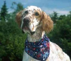 english setters dog photo | English Setters - Dogs - Quest