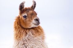 Llama day dreaming by Kartik J on Flickr.So cute :)