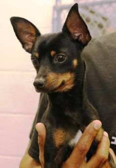 Mario is a precious Min Pin boy who just wants to go home. He is so sweet and loves everyone! ID# — at Henry County, Georgia Animal Care and Control. Mini Pinscher, Doberman Pinscher Dog, Miniature Pinscher, Min Pin Puppies, Min Pin Dogs, Cute Puppies, Dogs And Puppies, Chihuahua Dogs, Pet Dogs
