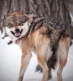 Non è a una preda che questa femmina di lupo grigio messicano (Canis lupus baileyi) sta sorridendo in modo sinistro. Ma ai suoi vivacissimi cuccioli che dopo alcune ore di marachelle,...