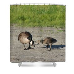 A mother Canada goose teaching her baby how to find food nature shower curtain.  Photography by Susan.
