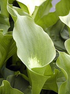 Zantedeschia ''Green Goddess'' would look gorgeous in glass! Calla Lillies, Calla Lily, Fall Flowers, Green Flowers, Lilies Of The Field, Zantedeschia, Perennials, Planting Flowers, Beautiful Flowers